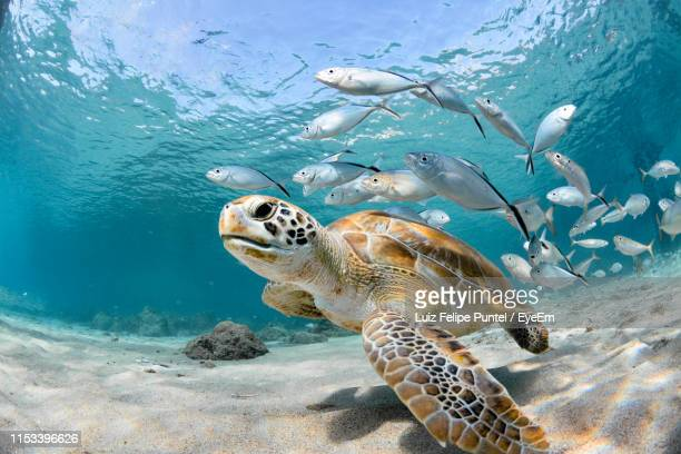 fishes and turtle swimming in sea - sea life stock pictures, royalty-free photos & images