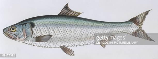 Fishes Clupeiformes Clupeidae Allis shad illustration