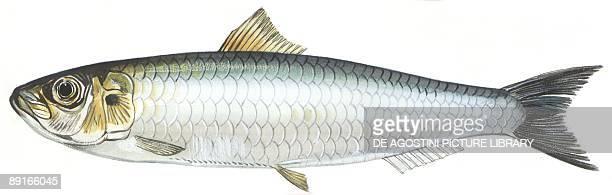 Fishes Clupeiformes Clupeidae European pilchard illustration