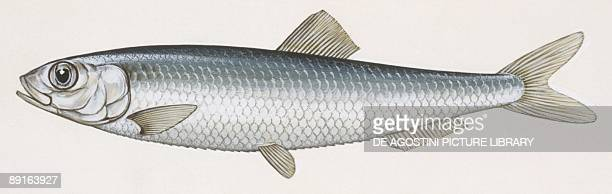 Fishes Clupeiformes Clupeidae European sprat illustration