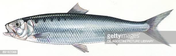Fishes Clupeiformes Clupeidae Mediterranean shad illustration