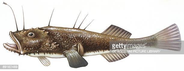 Fishes Lophiiformes Blackbellied angler