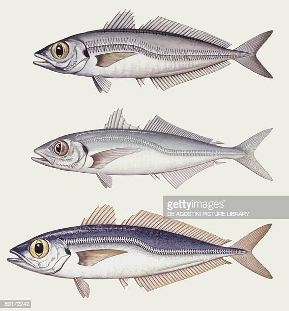 Fishes: Perciformes Carangidae, Atlantic horse mackerel big and small, illustration