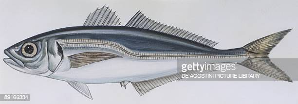 Fishes: Perciformes Carangidae - Atlantic horse mackerel , illustration