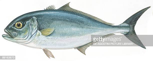 Fishes Perciformes Carangidae Greater amberjack illustration