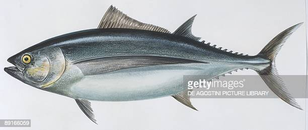 Fishes Perciformes Scombridae Albacore illustration