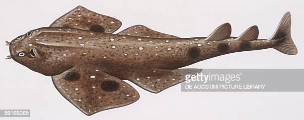 Fishes Squatiniformes Squatinidae Smoothback angelshark illustration