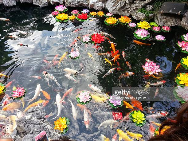 fishes swimming in pond - casey nolan stock pictures, royalty-free photos & images