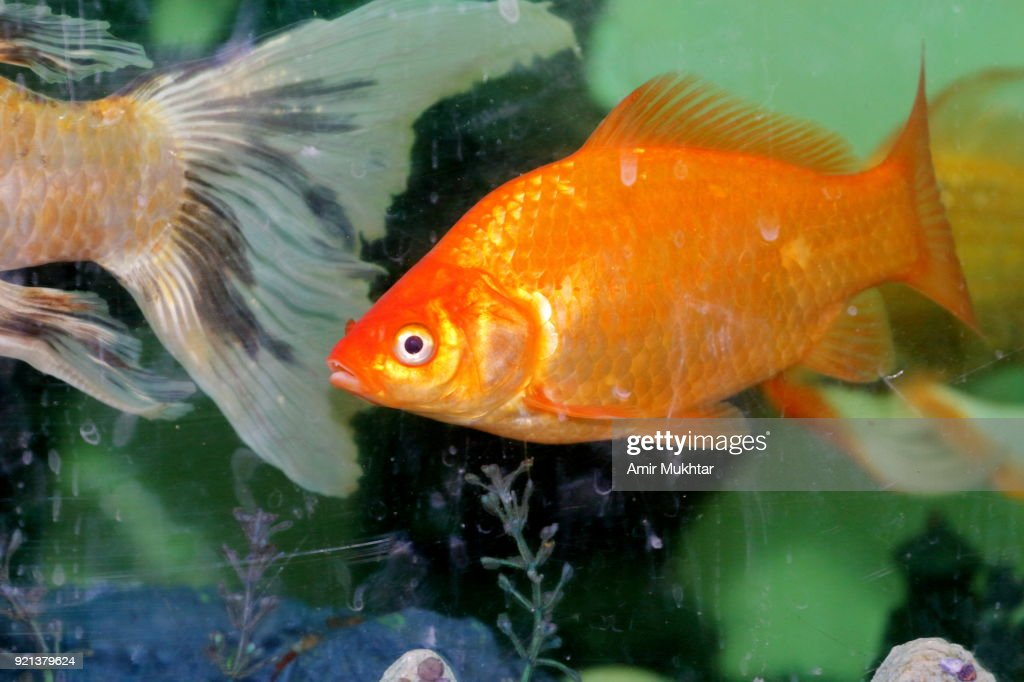 Fishes through a dirty glass aquarium : Stock Photo