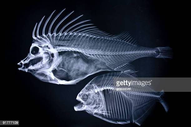 fishes x-ray - fish skeleton stock photos and pictures