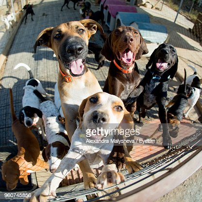 Fish-Eye Lens Shot Of Dogs Rearing Up On Fence
