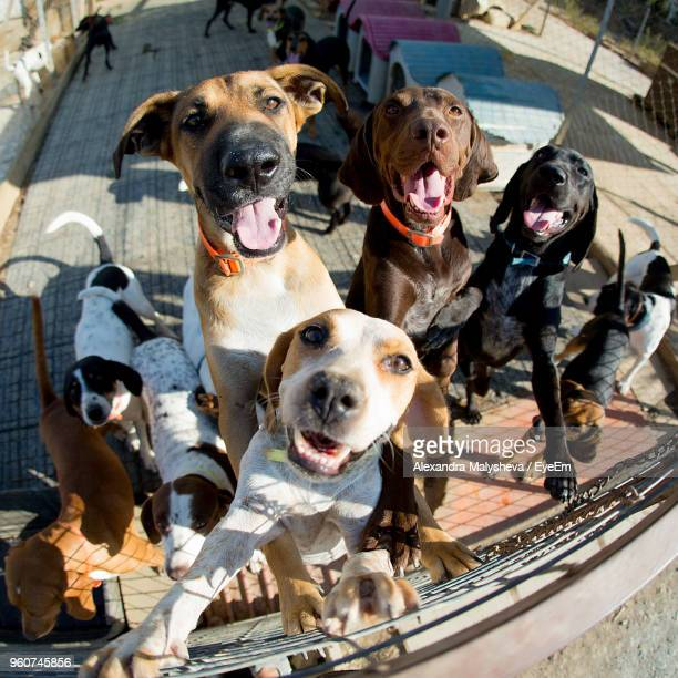 fish-eye lens shot of dogs rearing up on fence - un animal fotografías e imágenes de stock