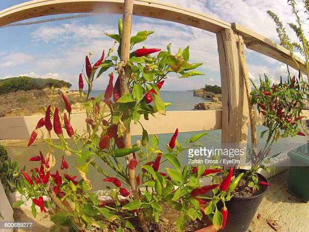 Fish-Eye Lens View Of Chili Pepper Plants In Balcony Against Sky