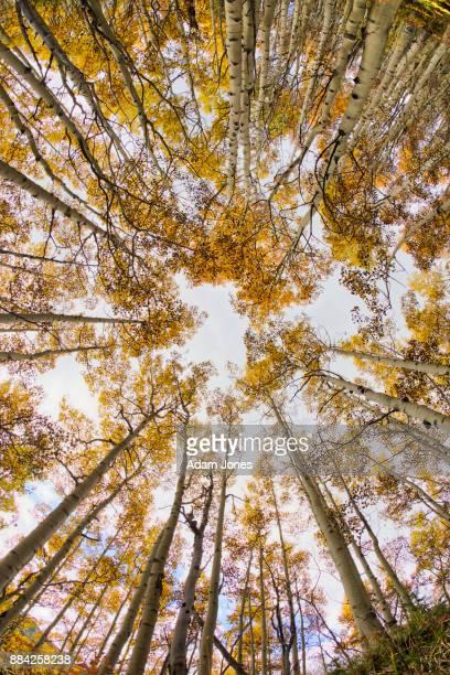 Fisheye view looking upward through autumn aspen trees