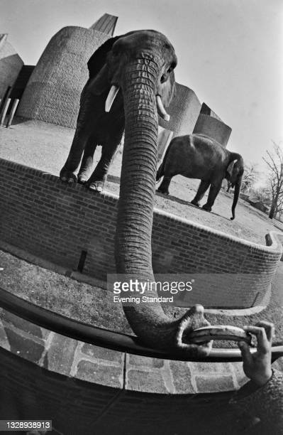 Fish-eye view of a hand feeding a banana to an elephant at London Zoo, London, UK, 7th October 1965.