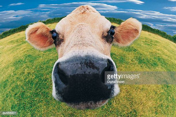 Fish-eye View of Jersey Cow's Head