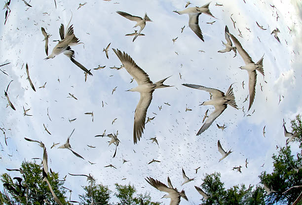 Fish-eye View Of Sooty Terns Flying Wall Art
