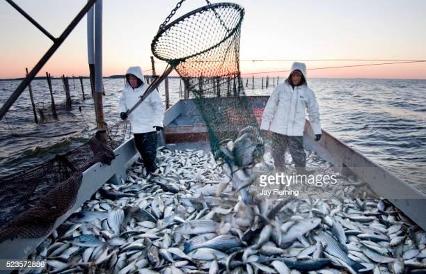 fishing a pound net - loup blanc photos et images de collection