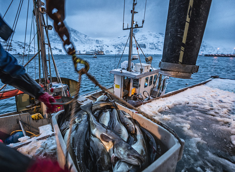 Fishing boats out for skrei cod in the arctic sea 1147301791