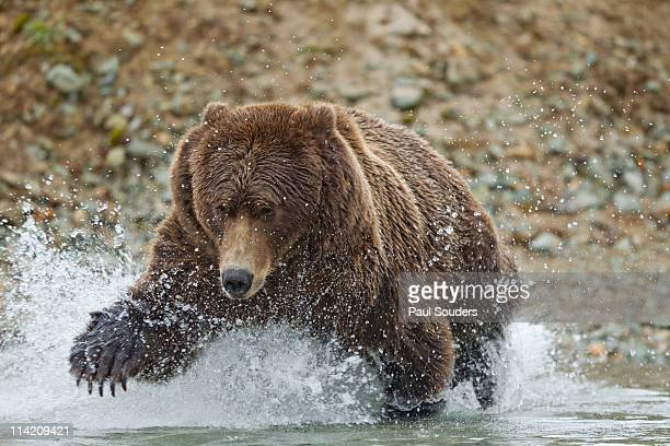 Fishing Brown Bear, Katmai National Park, Alaska