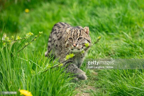 fishing cat - carnivora stock photos and pictures