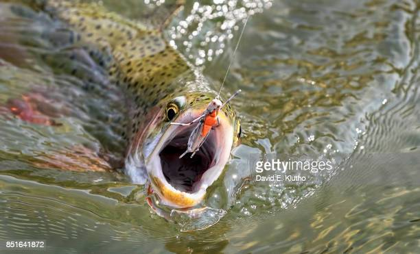 Closeup of Trout set to bite line with grasshopper fly on the Yellowstone River Bozeman MT CREDIT David E Klutho