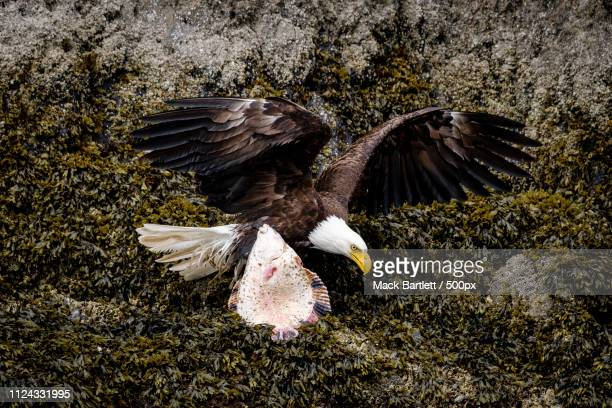 fishing eagle - mack stock pictures, royalty-free photos & images