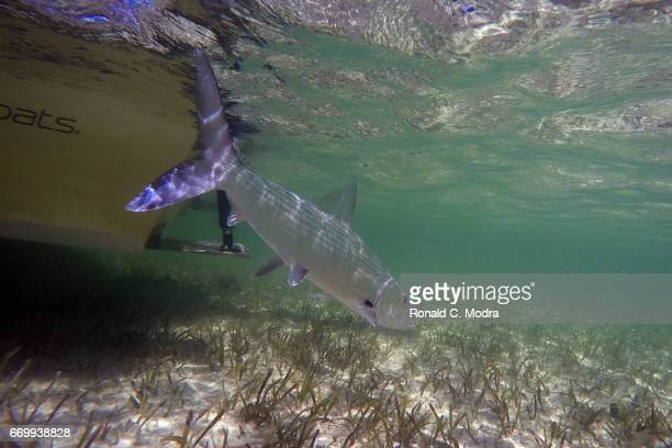 Fishing for bonefish on March 28 2017 in Cherokee Sound Abacoa