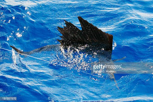 Fishing for sailfish on January 19 2012 in Isla Mejures Mexico