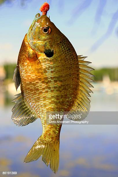 fishing for sunfish - freshwater sunfish stock photos and pictures