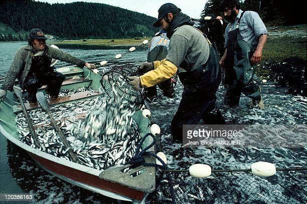 Fishing in Alaska United States Fishermen gathering small fish used as bait for black cod fishing