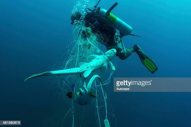 Fishing net victims including a rare bamboo shark Chiloscyllium sp and a Bluespotted ray Taeniura lymma a vulnerable species Dona Marilyn Wreck Site...
