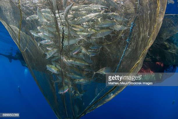 Fishing net with silvery and golden fish inside, Cenderawasih Bay, West Papua, Indonesia.