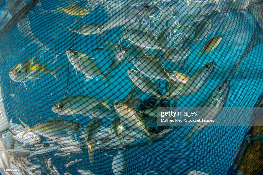 fishing net with silvery and golden fish inside