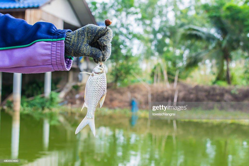 Pescar en el lago. Pescado fresco : Foto de stock