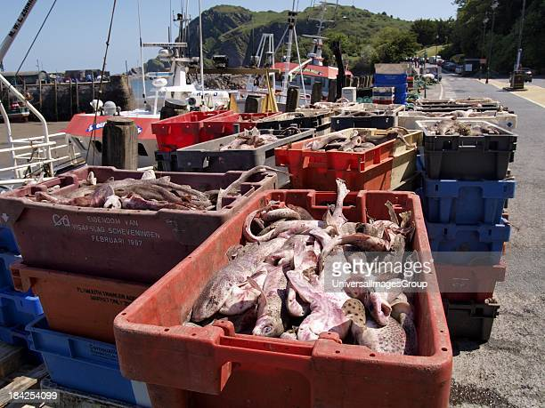 Fishing trawlers catch in crates on the harbour Ilfracombe Devon UK