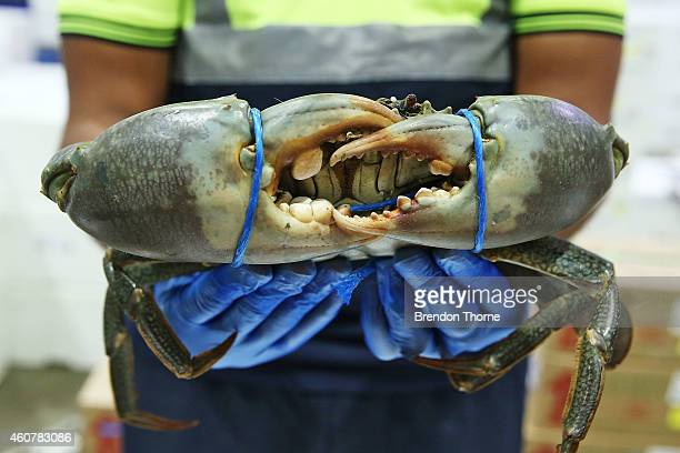 Fishmonger holds fresh festive seafood supplies are prepared at the Sydney Fish Market on December 23 2014 in Sydney Australia The Sydney Fish Market...