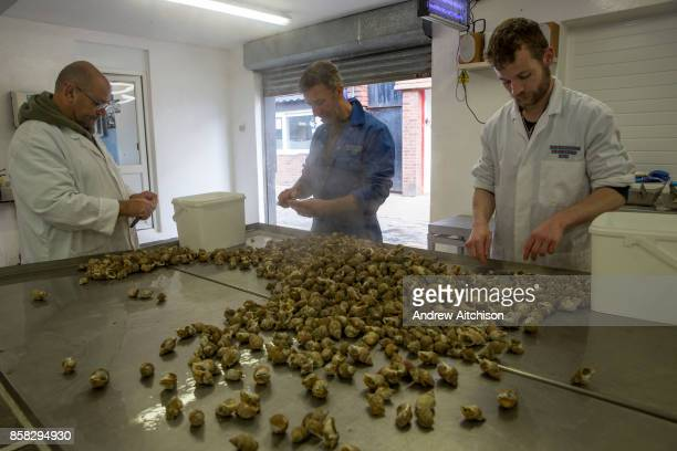 Fishmongers remove the Whelks from the shells after boiling before they are exported to Asia Folkestone Trawlers process manage and market all fresh...