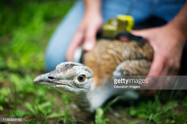 Fitting a radio transmitter to a Great Bustard in preparation for release on to Salisbury Plain Wilts