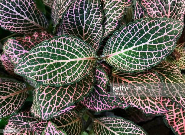 Fittonia - Fittonia argyroneura - Nerve plant - Red Anne - Mosaic plant - Acanthaceae