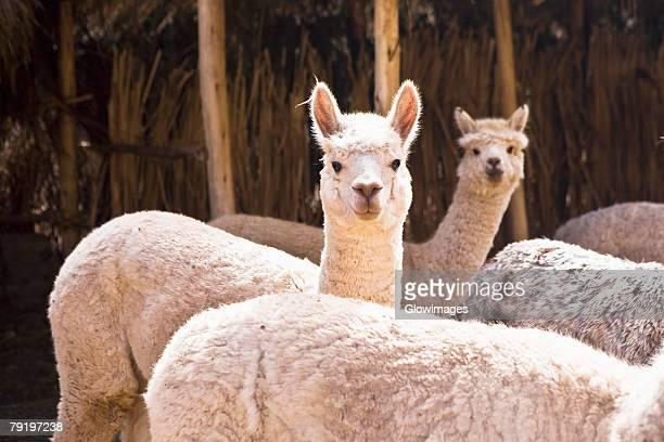 Five alpacas, Aguanacancha, Peru