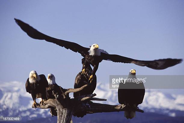 five bald eagles in homer alaska - home run stock photos and pictures