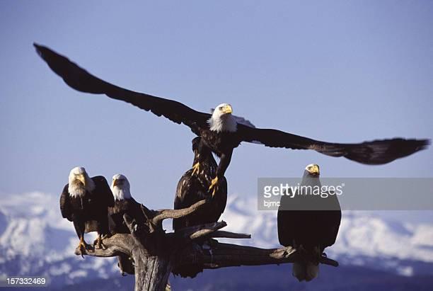 Five Bald Eagles in Homer Alaska