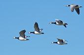five barnacle geese flying sky east
