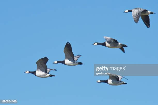 Five barnacle geese flying in sky, East Frisia, Lower Saxony, Germany