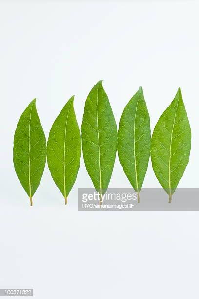 Five bay leaves
