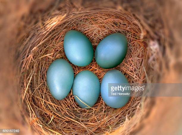 Five blue Robin's eggs in bird nest.