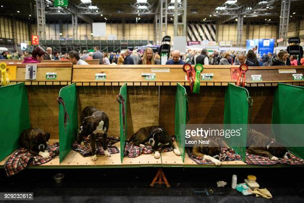 Five Boxer dogs sit in their benches at the Crufts dog show at the NEC Arena on March 8 2018 in Birmingham England The annual fourday event sees...