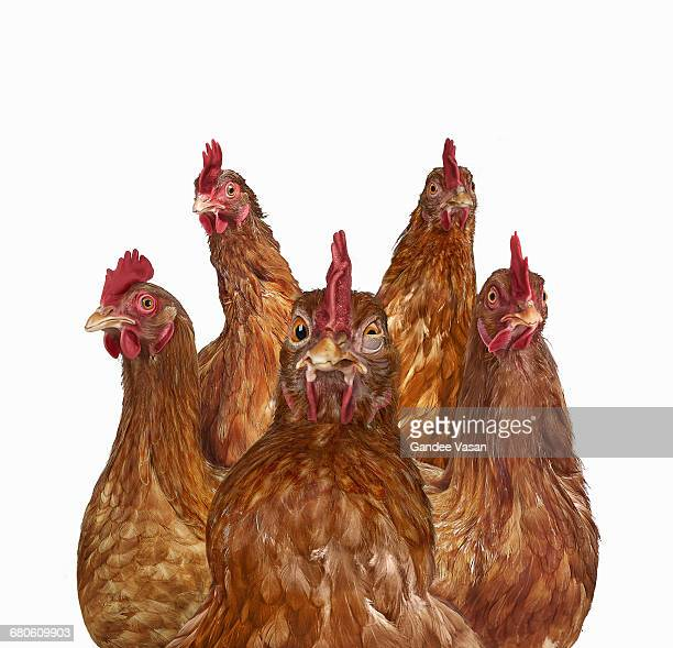 Five Chickens on white
