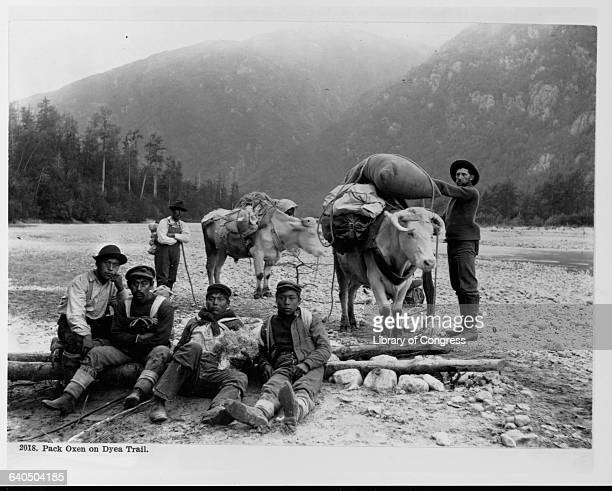 Five Chilkat porters pose with a miner and two oxen on the Dyea Trail located at the head of the Chilkoot Trail 1897   Location Alaska Territory USA